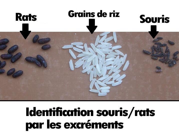 Comment reconnaitre des crottes de rats