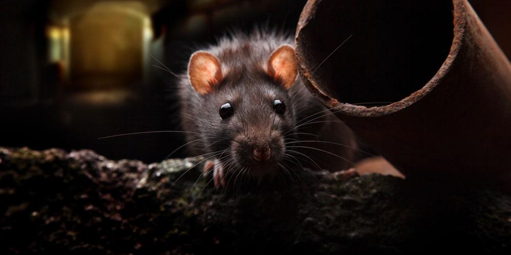 L'utilisation d'acide chlorhydrique contre les rats